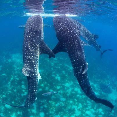 Djibouti safari z rekinen wielorybim DJB14